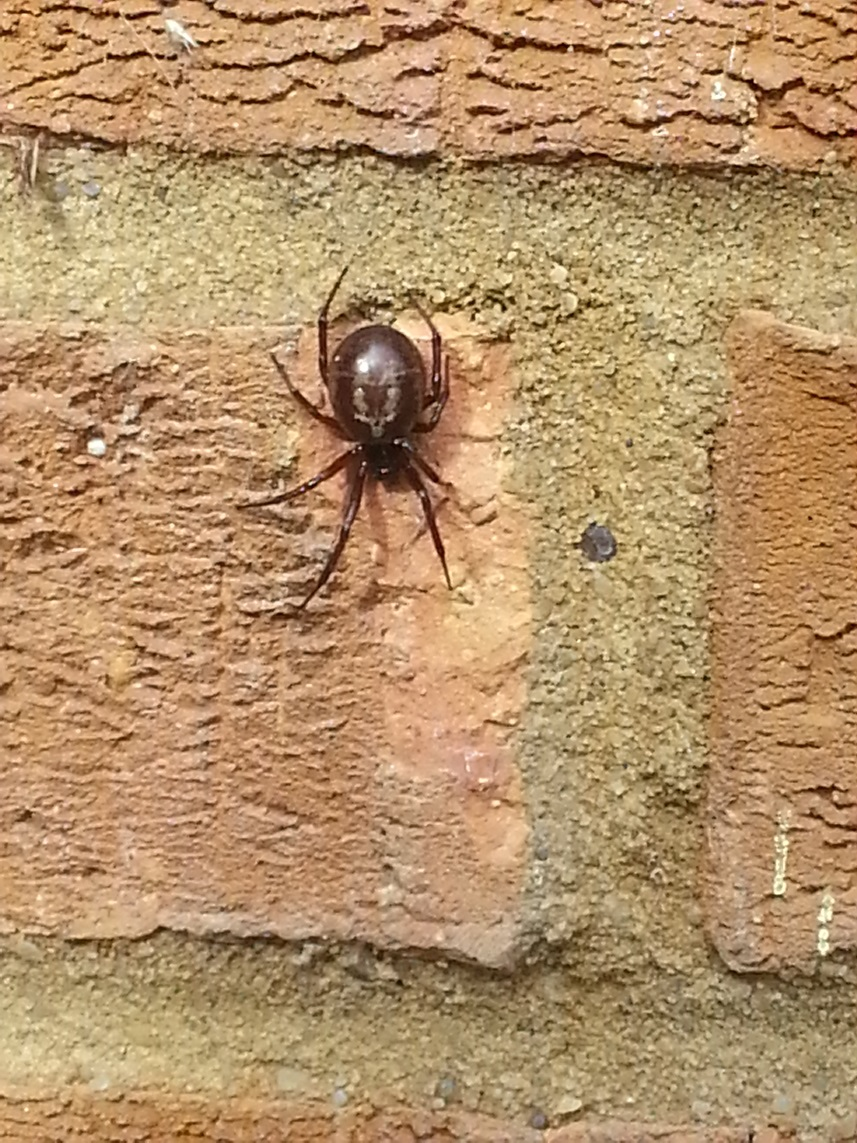 False-widow-spider-12