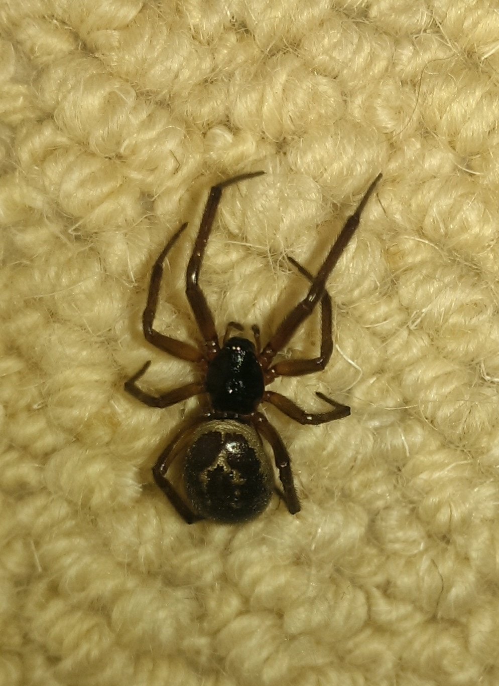 false-widow-spider-10