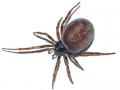 false-widow-spider-3