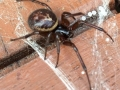 false-widow-spider-5