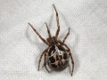 false-widow-spider-6