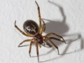false-widow-spider-7