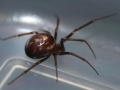 false-widow-spider-8