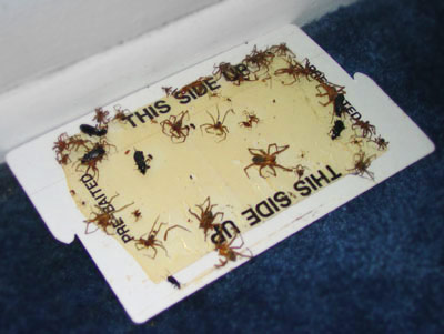 How to stop false widow spiders coming into your house for How to stop spiders coming in your house