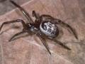 false-widow-spider-1