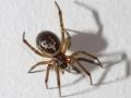 false-widow-spider-7