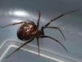 false-widow-spider-8